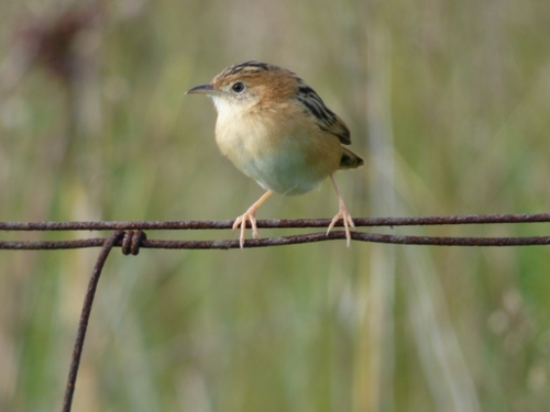 Golden-headed Cisticola_Thomas collection